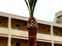 Poda de Palmeras / Beschneiden von Palmen / Palm Pruning
